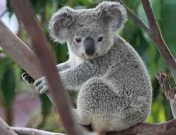 Meet a Koala
